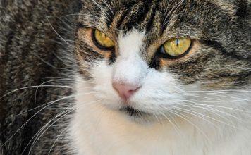 un chat avec du diabete