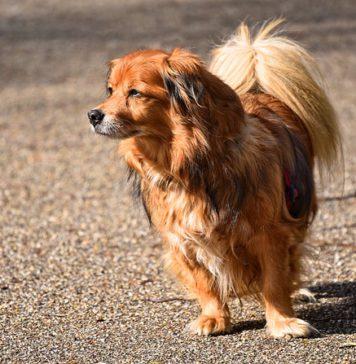 petit chien en fugue