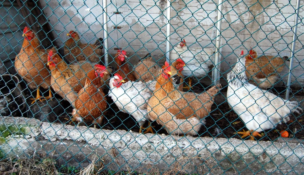 oiseau le bec poulet volaille faune cage coq la volaille crête animaux Galliformes Phasianidae les poules onze
